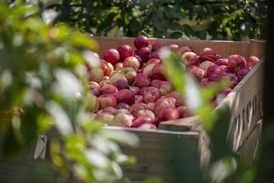 Bardsley's apple produce at its UK orchard (PRNewsfoto/Camellia Plc)